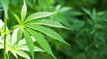 Marijuana leaf shutterstock