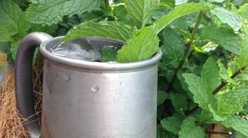 Cocktail Mint
