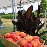 Jossy Farms Peach Crop Hillsboro