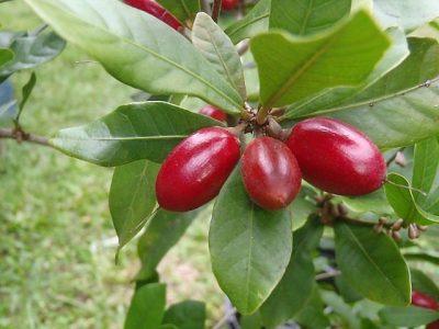 Miracle Fruit plant berries